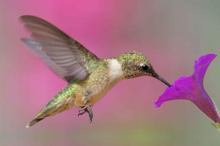 colibries: Menores Ruby-throated Hummingbird (Archilochus colubris) en vuelo con una flor