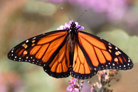 danaus: Monarch Butterfly (danaus plexippus) on purple s