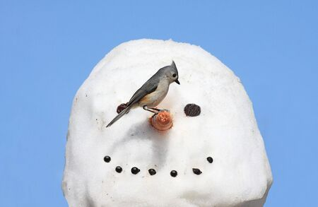 Tufted Titmouse (baeolophus bicolor) on a snowman photo
