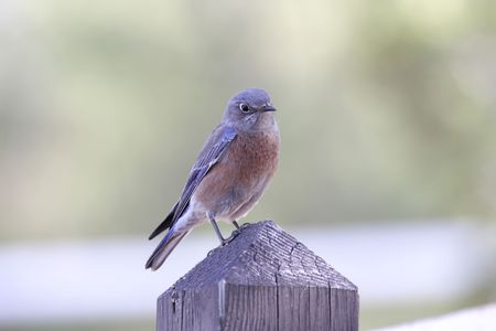 Western Bluebird (Sialia Mexicana) on a post