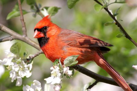 Male Northern Cardinal (cardinalis cardinalis) in an Apple Tree with blossoms 版權商用圖片