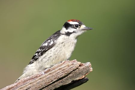 downy woodpecker: Male Downy Woodpecker (picoides pubescens) on a branch with a green background