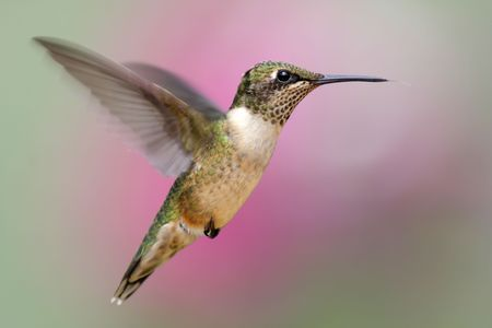 Juvenile Ruby-throated Hummingbird (archilochus colubris) in flight with flowers in the background Stock Photo