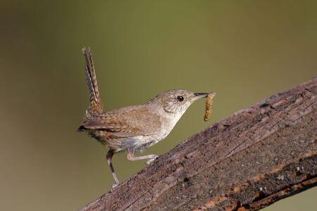 troglodytes: House Wren (troglodytes aedon) on a perch with a worm