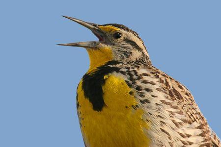 Western Meadowlark (sturnella neglecta) -  Bird Singing