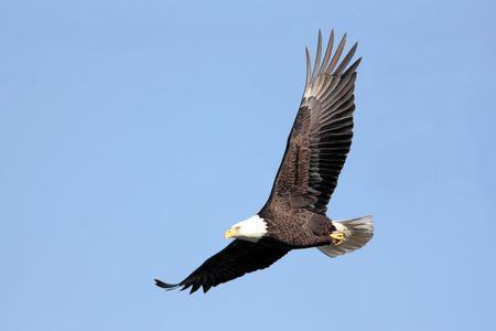 Volwassen Bald Eagle (Haliaeetus leucocephalus) tijdens de vlucht tegen een blauwe hemel