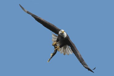 Adult Bald Eagle (haliaeetus leucocephalus) carrying a fish in flight against a blue sky photo