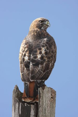 redtail: Red-tailed Hawk (buteo jamaicensis) perched on a stump