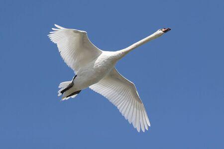 mute swan: Mute Swan (Cygnus olor) In Flight with a blue sky background