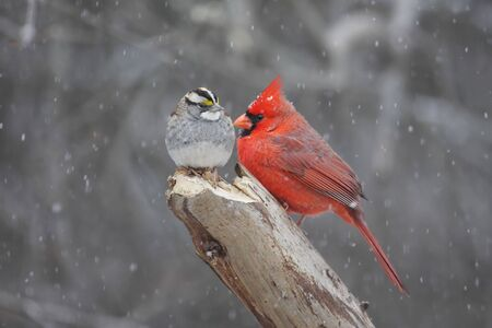 Northern Cardinal (cardinalis cardinalis) and White-throated Sparrow (zonotrichia albicollis) in a snow storm photo