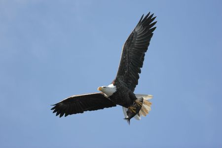Adult Bald Eagle (haliaeetus leucocephalus) carrying a fish in flight against a blue sky Stock Photo