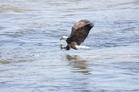 flying eagle: Shot # 1 in a series of an adult Bald Eagle (haliaeetus leucocephalus) catching a fish Stock Photo