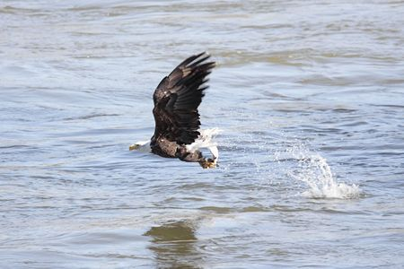 Shot # 3 in a series of an adult Bald Eagle (haliaeetus leucocephalus) catching a fish photo