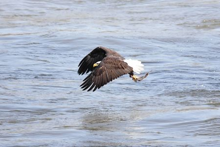 Shot # 4 in a series of an adult Bald Eagle (haliaeetus leucocephalus) catching a fish photo