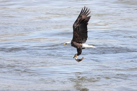 catching: Shot # 6 in a series of an adult Bald Eagle (haliaeetus leucocephalus) catching a fish
