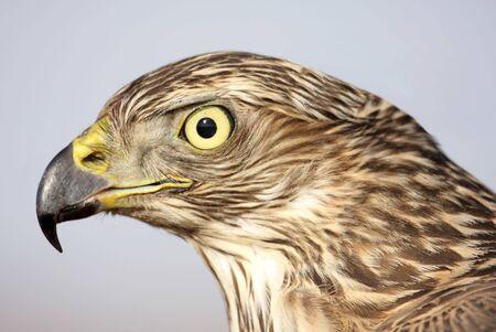 accipiter gentilis: Close-up of a juvenile Northern Goshawk (Accipiter gentilis)