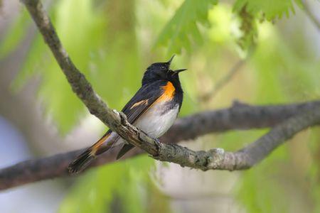 sing: American Redstart Warbler (Setophaga ruticilla) singing in early spring