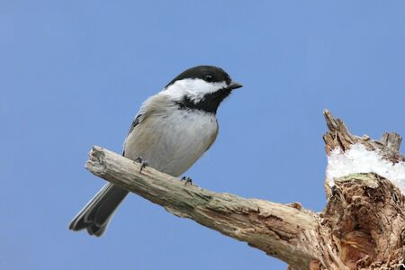Black-capped Chickadee (poecile atricapilla) on a stump in winter with snow photo