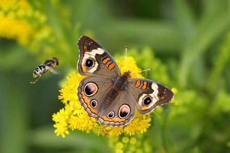 buckeye flower: Common Buckeye Butterfly (Junonia coenia) gathering nectar from yellow flowers with a bee flying by
