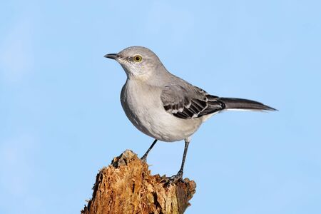 Northern Mockingbird (Mimus polyglottos) in winter on a log with a blue sky background 스톡 콘텐츠