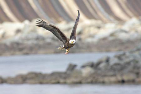 Adult Bald Eagle (haliaeetus leucocephalus) carrying a fish in flight photo