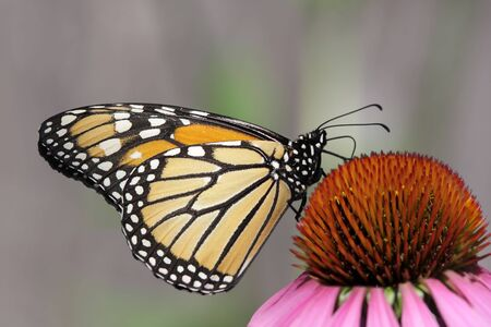 Monarch Butterfly (danaus plexippus) on purple cone flowers Stock Photo - 4142016