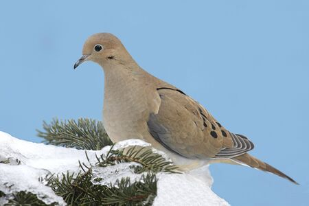 Mourning Dove (Zenaida macroura) on a spruce tree covered with snow  in winter photo
