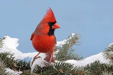 Male Northern Cardinal (cardinalis cardinalis) on a Spruce branch covered with snow with a blue sky background