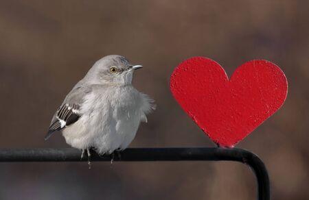 mockingbird: Northern Mockingbird (Mimus polyglottos) with a red heart Stock Photo