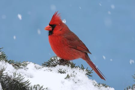 Male Northern Cardinal (cardinalis cardinalis) on a Spruce branch covered with snow falling photo