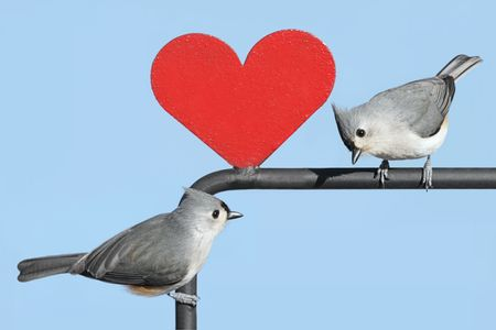 Pair of Tufted Titmice (baeolophus bicolor) with a red Valentine heart Stock Photo - 4163429