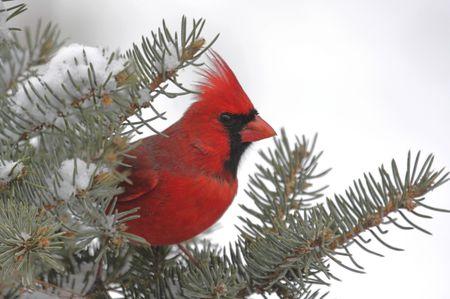 남성 북부 추기경 (cardinalis cardinalis) 가문비 나무 나뭇 가지에 눈이 덮여
