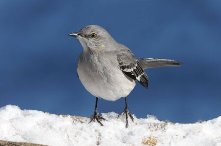 Northern Mockingbird (Mimus polyglottos) in snow on a blue background Stock Photo
