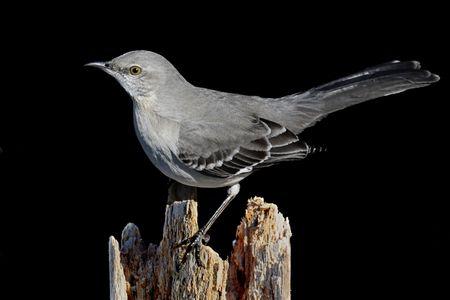 mockingbird: Northern Mockingbird (Mimus polyglottos) on a black background Stock Photo