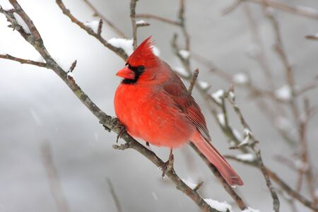 Male Northern Cardinal (cardinalis cardinalis) on a branch in a snow storm Banco de Imagens