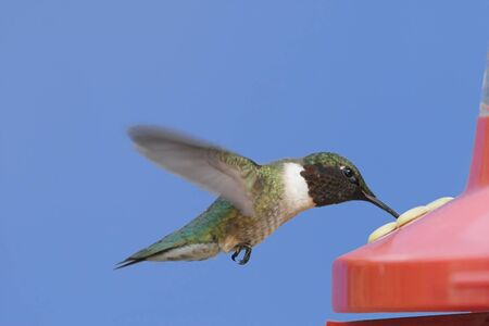 Ruby-throated Hummingbird (archilochus colubris) at a feeder with a blue background Stock Photo - 4287731