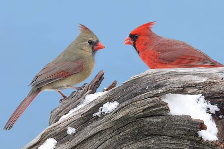 cardinal bird: Pair of Northern Cardinals (cardinalis cardinalis) on a stump with snow and a blue sky background