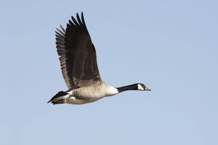 Canada Goose (Branta canadensis) in flight with a blue sky background
