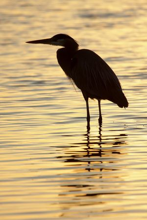 Great Blue Heron (Ardea Herodias) reflected against the rising sun in the Florida Everglades Stock Photo