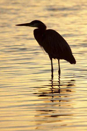 Great Blue Heron (Ardea Herodias) terug te vinden tegen de rijzende zon in de Florida Everglades