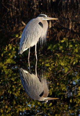 herodias: Great Blue Heron (Ardea Herodias) reflection in the Florida Everglades