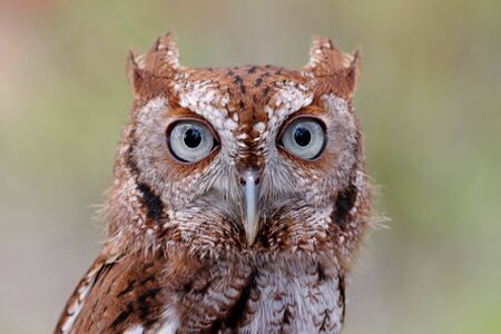Close-up of an Eastern Screech-Owl (Megascops asio) with a green background photo