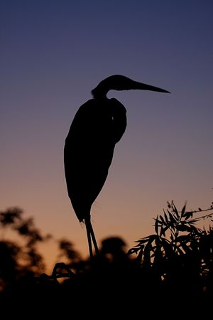 Great Egret (Ardea alba) reflected against the setting sun in the Florida Everglades Stock Photo - 4430597