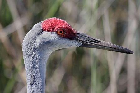 Profile of a Sandhill Crane (Grus canadensis) in the Florida Everglades photo