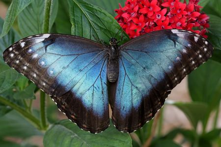 Blue Morpho Butterfly with red flowers and green leaves