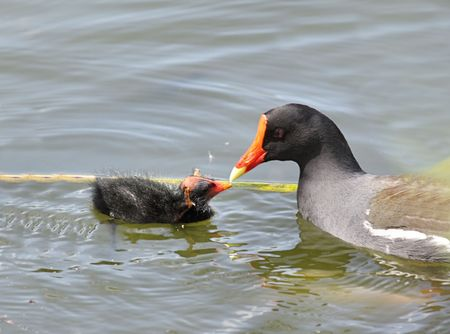 Common Moorhen (Gallinula chloropus) feeding her baby in the Florida Everglades 版權商用圖片 - 4503341