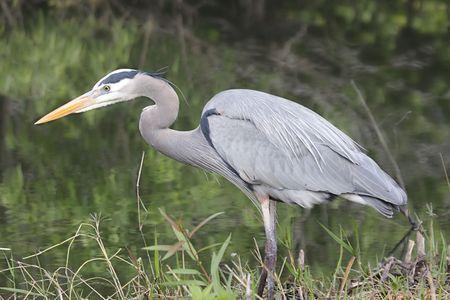 herodias: Great Blue Heron (Ardea Herodias) in the Florida Everglades