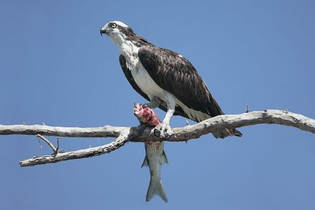 bird eating raptors: Osprey (Pandion haliaetus) in a tree eating a fish against a blue sky
