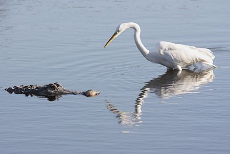 cold blooded: American Alligator (alligator mississippiensis) and a Great Egret (Ardea alba) facing off in the Florida Everglades