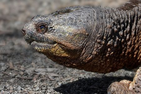 snapping turtle: Common Snapping Turtle (Chelydra serpentina) in early spring Stock Photo